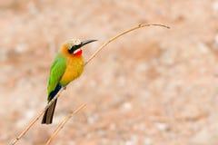 African Bee Eater at Chobe River, Botswana. Bird at the riverbank of the Chobe river in Botswana stock image