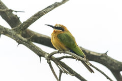 African bee eater perched on a branch Royalty Free Stock Photos