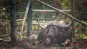 African big Buffalo on dirt. Wild african big Royalty Free Stock Photos