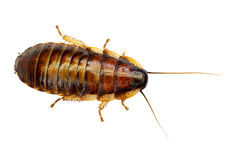 African big cockroach Royalty Free Stock Photography