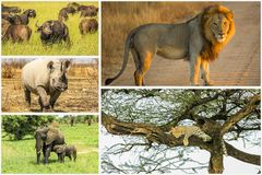 African Big Five royalty free stock image
