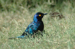 African bird. Tree Bird: Little Cape Glossy Starling - Kleinglansspreeu - Lamprotornis nitens - sitting in the field watching other birds in a game park in South Royalty Free Stock Photo