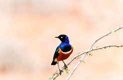 African bird Royalty Free Stock Photos