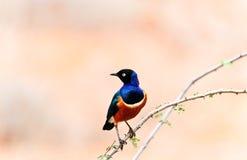 African bird Royalty Free Stock Photos