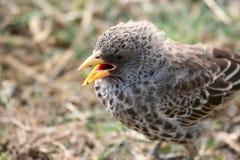 African bird Royalty Free Stock Image