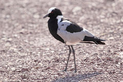 African bird, Blacksmith Lapwing Plover, walking Stock Photos