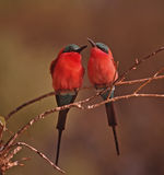 African bird-Carmine bee eaters. Pair of mated carmine bee eaters Stock Images