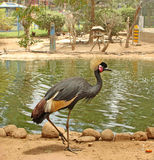 African bird: Grey crowned crane Royalty Free Stock Photo