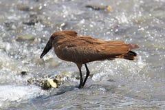 African bird (Hamerkop) fishing Stock Photography