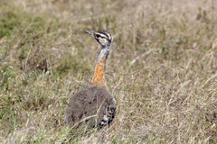 African bird, Hartlaub's Bustard, in the bush Stock Images