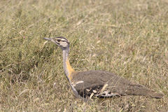 African bird, Hartlaub's Bustard, in the bush Royalty Free Stock Image