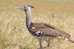 African bird, Kori Bustard, in the bush Stock Images