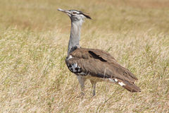 African bird, Kori Bustard, in the bush Royalty Free Stock Photo