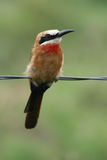 African Bird Life. A photo of an african bird sitting on a fence Stock Photos