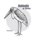 African bird Marabou. Stock Image