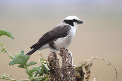 African bird, Northern White-crowned Shrike, perched on a tree Royalty Free Stock Photos