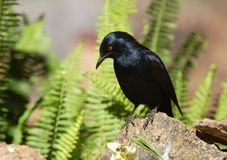 African bird: Palewinged Starling Stock Images
