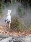 African bird - Shoebill stork in morning mist. An image of the African shoebill stork, a large size bird found in Africa.  Taken against a simulated natural Stock Photo