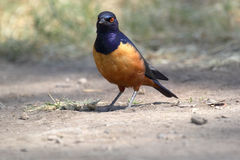 African bird, Superb starling, on the ground Stock Images