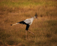 African Bird Royalty Free Stock Photography