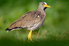 Free African Bird Wattled Lapwing, Vanellus Senegallus, With Yellow Bill. Bird In The Summer Green Grass. Wildlife Scene From Nature. D Stock Image - 91590901