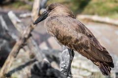 African Bird Wildlife - Hamerkop Royalty Free Stock Photo
