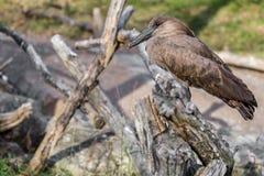 African Bird Wildlife - Hamerkop Stock Image