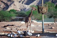 African birds, giraffe feeding Royalty Free Stock Photography
