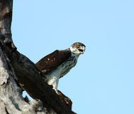 African Birds: Martial Eagle. Martial Eagle, after the hunt with its prey Stock Photos