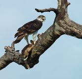 African Birds: Martial Eagle. Martial Eagle, the biggest eagle in Africa, with its prey, a Cape Hare Stock Photography
