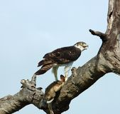 African Birds: Martial Eagle. Martial Eagle, the biggest eagle in Africa, with its prey, a Cape Hare Stock Photos