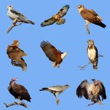 African birds of prey collection Royalty Free Stock Photography