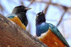 African birds, Superb starlings, on a tree Stock Photo
