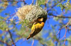 African Birds, Yellow Weaver, Approval Granted Stock Images