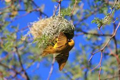 African Birds, Yellow Weaver, Golden Wings Royalty Free Stock Photo