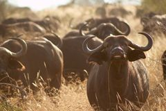 African Buffalo in Tsavo West National Park Kenya East Africa Royalty Free Stock Image