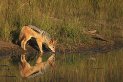 African Black Backed Jackal Drinking Water. An African Black Backed Jackal Drinking Water Royalty Free Stock Photo