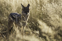 African Black Backed Jackal at Sunset Royalty Free Stock Photos