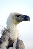 African Black Backed Vulture. Looking Left royalty free stock image