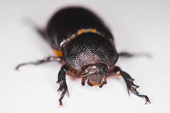 African Black Beetle Stock Photo