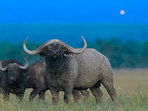 African black buffalo Royalty Free Stock Photography