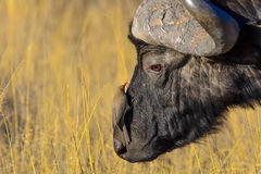 African black buffalo stock photography