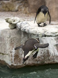 African black foot Penguin Royalty Free Stock Image