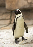 African black foot Penguin Royalty Free Stock Photo