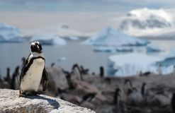 African black-footed penguin standing on a rock with his family in the background. A african black-footed penguin standing on a rock with his family in the stock photo