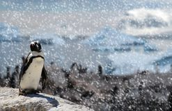 African black-footed penguin standing on a rock with his family on the background and snow falling down. A african black-footed penguin standing on a rock with stock photo
