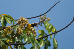 African Black-headed Oriole Royalty Free Stock Photo