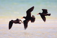 African Black Oystercatcher Royalty Free Stock Image