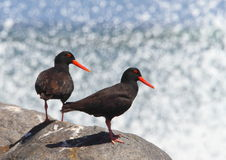 African Black Oystercatcher Royalty Free Stock Images