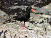 African Black Oystercatcher Stock Photos